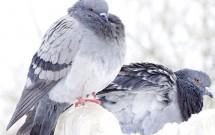انواع نژاد کبوتران